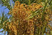 Sago Palm Latin name Cycas revoluta, fruit