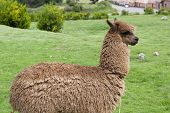 stock photo of alpaca  - A view of an alpaca on a green field on a sunny day - JPG
