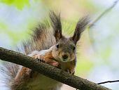 Sciurus Vulgaris, Red Squirrel (eurasian)