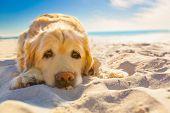 picture of sleeping  - golden retriever dog relaxing restingor sleeping at the beach under the bright sun  - JPG
