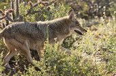 foto of coyote  - A Close Up Portrait of a Coyote Canis latrans - JPG