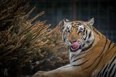 picture of tigers  - A tiger in her enclosure enjoying a sunny midmorning with a frasier fir tree as a treat - JPG