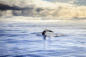 stock photo of whale-tail  - Diving humpback whale in the Skjalfandi Bay in Northern Iceland - JPG