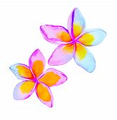 picture of plumeria flower  - watercolor illustration of tropical plumeria flowers in soft shades - JPG