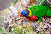 picture of lorikeets  - A colorful lorikeet  - JPG