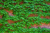 picture of creeping  - Young green creeping plants on ancient brick wall in spring  - JPG