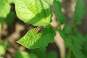 pic of potato bug  - Colorado beetle on potato leaves in garden - JPG