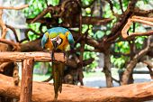 picture of green-winged macaw  - Blue - JPG