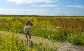 foto of wild horse running  - Foal running in a field with wild flowers in summer