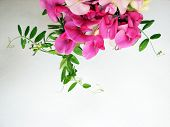 picture of sweet pea  - Pink sweet pea with copy space for background image  - JPG