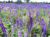 foto of lilas  - A colorful meadow of bright purple lupines - JPG