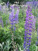 image of lilas  - A colorful meadow of bright purple lupines - JPG