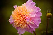 pic of chrysanthemum  - beautiful pink chrysanthemum in the garden - JPG