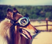 image of goggles  - a collie posing for the camera up above a city during a hot summer day with goggles on toned with a retro vintage instagram filter app or action effect  - JPG