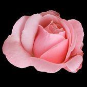 A Pink Rosebud