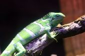 Chameleon Basking