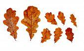 Autumn Oak Leaves Isolated On White Background. Fallen Dry Oak Leaves. Design Kit poster