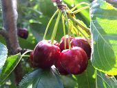 Cherry Clump In Tree