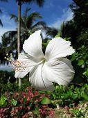 Flor de hibisco blanco