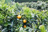 Orange Fruit And Flower Blossoms On Citrus Trees In Orchard In Kerikeri, Far North District, Northla poster