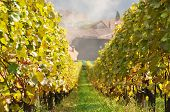 Vineyard in Lavaux region, Switzerland