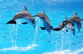 stock photo of grampus  - Dolphins - JPG