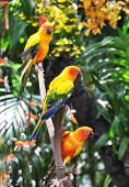 Three Sun Conure parrots