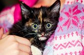 Black Kitten With Red And White Spots. A Small Kitten Sits On The Hands Of. Portrait Of A Tricolor K poster