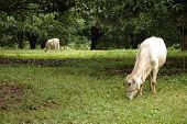 picture of biogas  - A cow grazing under a Mango tree