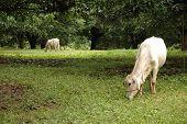 A cow grazing under a Mango tree