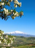 Rural landscape with the branches loaded with flowers and the volcano Etna snow covered