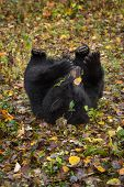 Black Bear (ursus Americanus) Rolls In Autumn Leaves - Captive Animal poster