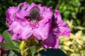 Rhododendron Hybrid (rhododendron Hybrid), Close Up Of The Flower Head In Sunshine poster
