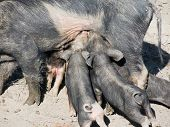 black pig feeding the baby pigs