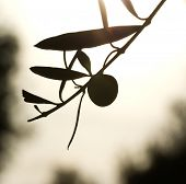 olive fruit and leaves silhouette in sunrise