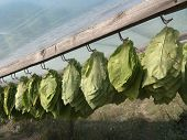 the tobacco leaves are harvested and are hanging to dry in the sun under a plastic sheet