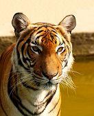 Tigre mira fijamente