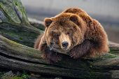 Eurasian Brown Bear (ursus Arctos Arctos) Also Known As The European Brown Bear. poster