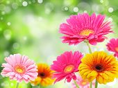 stock photo of yellow flower  - colored gerberas flowers with blur shimmer background - JPG