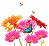 Gerber flowers with butterflies, isolated on white background