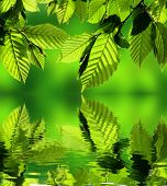 Hornbeam leaves with water reflection