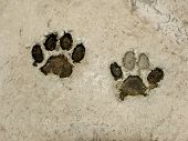 Real tiger footprints