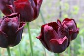 Tulip Black Lady