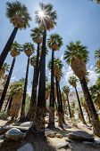 Fan Palm Trees In The Indian Canyons Near Palm Springs California In The Coachella Valley. Sunflare  poster