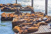 Crowds Of Sea Lions Colony At Pier 39 In San Francisco. Pier 39 Is Tourist Attraction In San Francis poster