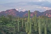 Saguaros In Superstition Wilderness