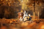 Dogs Traveler. Autumn Mood. Red Nova Scotia Duck Tolling Retriever And A Jack Russell Terrier. Happy poster