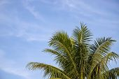 Fluffy Coco Palm On Blue Sky Background. Green Palm Tropical Landscape Photo. Exotic Place For Vacat poster