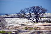 Burnt And Blackened Tree On Sandstone Plateau At Cape Solander After A Bushfire In Kamay Botany Bay  poster