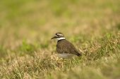 image of killdeer  - A Killdeer walking along in a field hunting for small bugs to eat